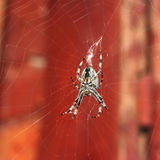 Big spider hanging on a web Stock Photo