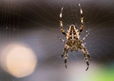 The big spider Stock Photography