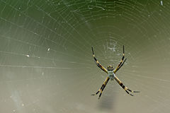 Big spider1. Picture of a big spider stock photo
