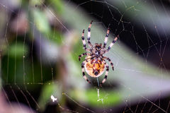 Spider sits on the web Royalty Free Stock Photography