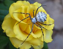 Spider on a flower. The big spider sits on a yellow rose stock images