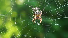 Big spider on a spiderweb stock footage