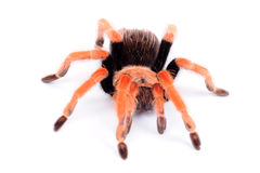 Big spider Tarantula Stock Image