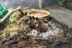 Big spider tarantula brachypelma Royalty Free Stock Photos