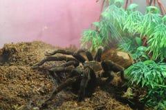 tarantula spider brachypelma albopilosum stock image