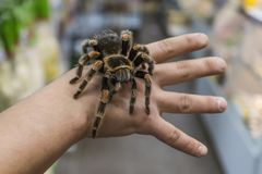 Big spider tarantula sits crawling on the man`s arm. Theraphosidae stock images