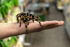 Big spider tarantula sits crawling on the man`s arm stock images