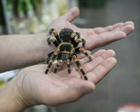 Big spider tarantula sits crawling on the man`s arm Stock Image