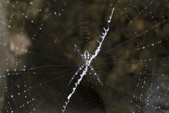 Big spider in Indonesia. Big spider in Togian island forest, Indonesia Stock Photography