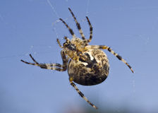 Big spider on the web Royalty Free Stock Photo