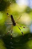Big spider in a web Royalty Free Stock Photography