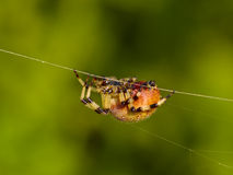 The big spider on a web Stock Photo