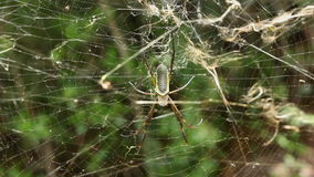 Big Spider On The Web stock video footage