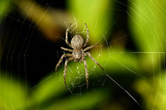 Big spider Royalty Free Stock Image