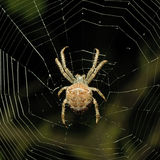 Big spider. On the web Stock Photos