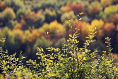 Big spider web on the branches of barberry. Blurry autumn forest on background, green, red, orange colors. Stock Images