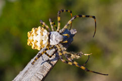 Big spider on the web Royalty Free Stock Photos