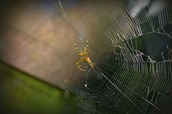 Big spider on a web Stock Images