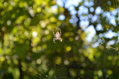 Big spider on a web Royalty Free Stock Images