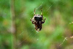 Big spider in the web Stock Images