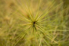 Big Spinifex beach rolling grass Royalty Free Stock Photo