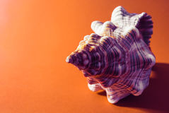 Big spiral seashell. Stock Images