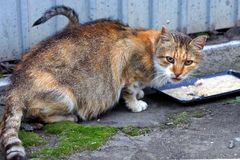 Spotted cat eats feed from a bowl on the road near the fence Stock Photography