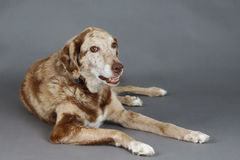 Big spotted dog in studio. Beautiful big mixed labrador and Australian shepherd dog in studio Stock Images