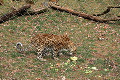 Big spotted Leopard eating whole melon behind heavy metal fence Royalty Free Stock Images