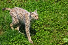 SPotted wild cat stock photography