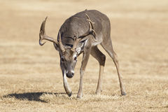 Big Spread Whitetail Buck in Rut. Rutting Whitetail Buck on Scent Path of doe Stock Photo