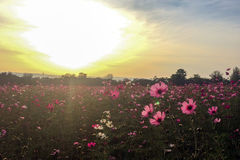 Big Spring Fields Concept. Meadow with Blooming Pink and White Cosmos Flowers in Spring Season at The Corner with Copyspace Royalty Free Stock Photo