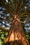 Big spruce Stock Photo