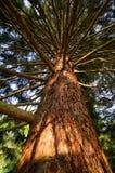 Big Spruce Stock Photo