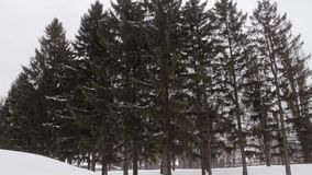 Big spruce tree on a cloudy winter day stock footage