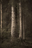 Big spruce trees in  sepia forest Royalty Free Stock Image