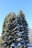 Big spruce in winter Stock Image