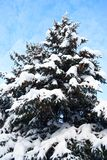 Big spruce, winter daytime. Royalty Free Stock Photos