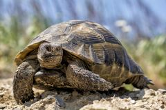 Big spur thighed turtle Testudo graeca standing in the sun on a green background stock photo