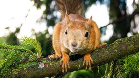 Big squirrel sitting on a branch royalty free stock photo