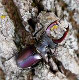 Big Stag beetle on the bark of a tree Royalty Free Stock Photos