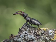 Beetle King royalty free stock image