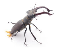 Big stag-beetle. Royalty Free Stock Image