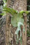 Big staghorn fern Royalty Free Stock Photography