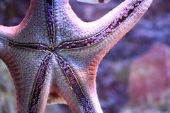 Big star fish Royalty Free Stock Photos