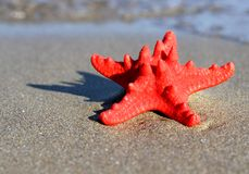 Big starfish lying on tropical sea Beach Stock Images