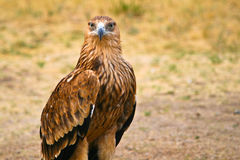 Big steppe eagle (Aquila nipalensis) Royalty Free Stock Images