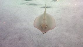 A big sting ray royalty free stock photography