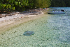 Big stingray in shallow waters of Moore. A. French Polynesia stock images