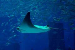 Big stingray underwater inside aquarium Stock Image